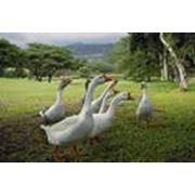 Комбикорма для птиц молодняка 91-150 дней фото