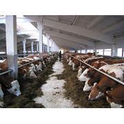 Скот крупный рогатый мясной купить в Кустанайской области фото