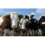 Скот крупный рогатый мясной фотография