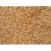 Пшеница от производителя фото