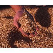 Зерно зерновые культуры в Молдове фото
