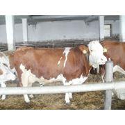 Лучшие коровы симментальской породы в коровнике фото