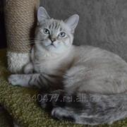 Кот шотландской породы Джек фото
