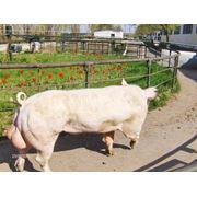 Свиньи породы Ландрас в Молдове фото
