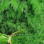 Семена укропа Аллигатор фото