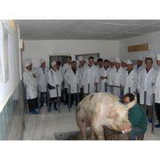 Разведение свиней в Молдове фото