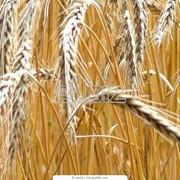 Пшеница фуражная 4 класс фото