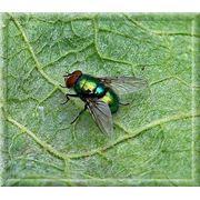 Уничтожение мух Дезинсекция Дезстанция Надежда и К ТОО Мухи уничтожение мух борьба с мухами фото