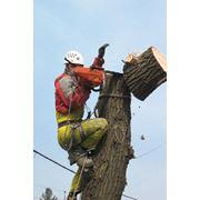 Спил аварийных деревьев в алматы фото