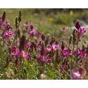 Кормовая трава Эспарцет экспорт фото