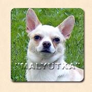 Собаки чихуахуа фото