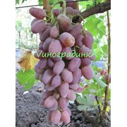 Саженцы винограда (сорт Гелиос) фото