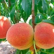 Персики ранние фото