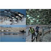 Выращивание товарной рыбы фото