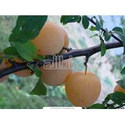 Выращивание фруктовых деревьев фото