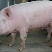 Селекция свиней фото