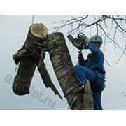 Удалениекронирование и валка деревьев фото