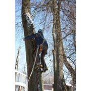 Удаление и коронирование деревьев фото