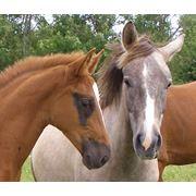 Селекция эстонской спортивной лошади. фото