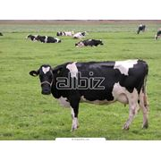 Разведение крупного рогатого скота в Эстонии фото