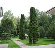 Взрослые деревья- крупномер фото