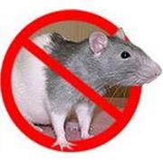 Услуги по уничтожению крыс фото