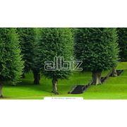 Декоративная обрезка деревьев фото