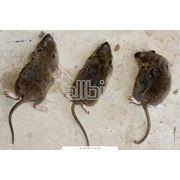 Уничтожение кочевых крыс фото