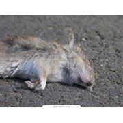 Уничтожение домовых мышей фото