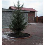 Зимняя посадка крупномерных деревьев фото