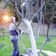 Побелка садовая фото