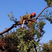 Спил аварийных и сухих деревьев. Спил и разборка деревьев в труднодоступных местах. фото