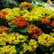 Кальцеолярия Calceolaria фото