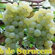 Struguri de masa Alb de Suruceni (Виноград Суручянка) фото