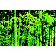 "Фотообои ""Весенний бамбук"" Wizard&Genius (Швейцария) фото"