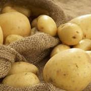 Картофель свежий фото