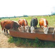 Выращивание коров на мяло фото