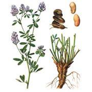 Семена люцерны фото