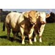 Выращивание бычков шаролезской породы фото