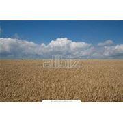 Сельскохозяйственные основные культуры - выращивание фото