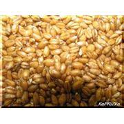 Пшеница. фото