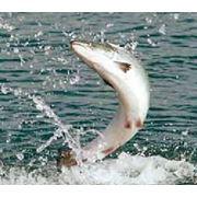 Разведение рыбных ресурсов фото