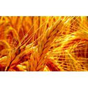 Выращиваем пшеницу фото