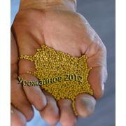 Выращивание семян горчицы белой под заказ. фото
