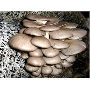 Продажа мицелия грибов вешенки фото