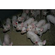 Племенное свиноводство фото