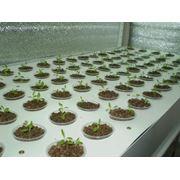 Выращивание зелёного салата фото