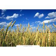 Купить пшеницу 2-го класса оптом в Украине фото