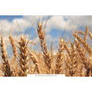 Купить пшеницу второго класса оптом в Харькове фото