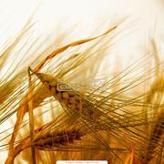 Пшеница яровая твердая фото